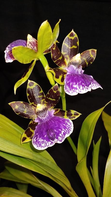 Orchidées + succulentes + autres. Chez Ola, saison 2.  - Page 3 20200115