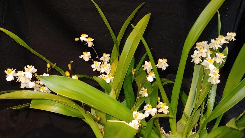 Orchidées + succulentes + autres. Chez Ola, saison 2.  - Page 3 20200118