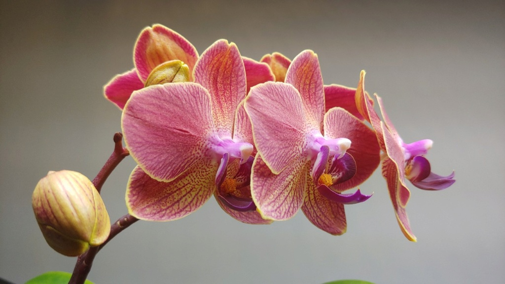 Orchidées + succulentes + autres. Chez Ola, saison 2.  - Page 5 20200315
