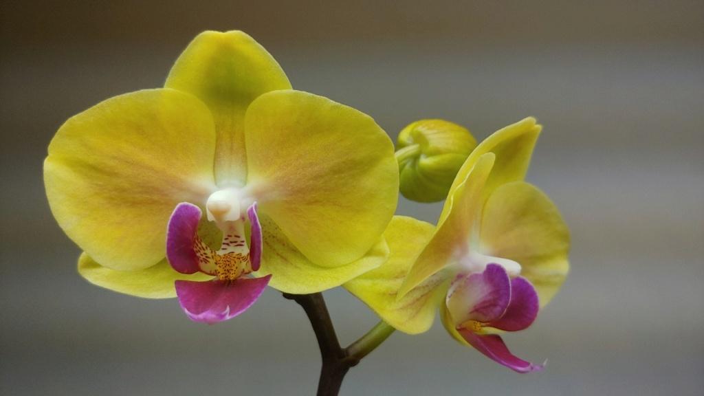 Orchidées + succulentes + autres. Chez Ola, saison 2.  - Page 5 20200316