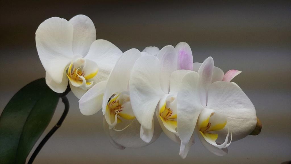 Orchidées + succulentes + autres. Chez Ola, saison 2.  - Page 5 20200317