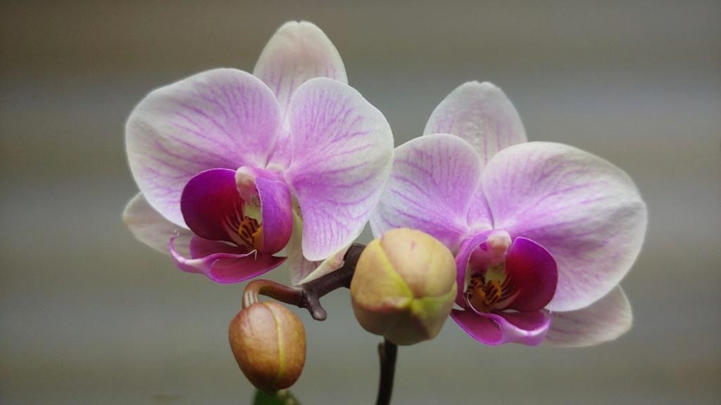 Orchidées + succulentes + autres. Chez Ola, saison 2.  - Page 5 20200318