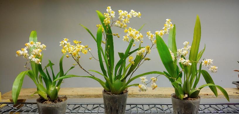 Orchidées + succulentes + autres. Chez Ola, saison 2.  - Page 5 20200532