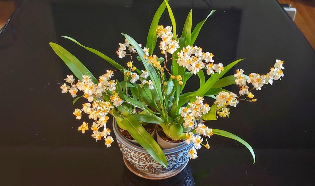 Orchidées + succulentes + autres. Chez Ola, saison 2.  - Page 5 20200533