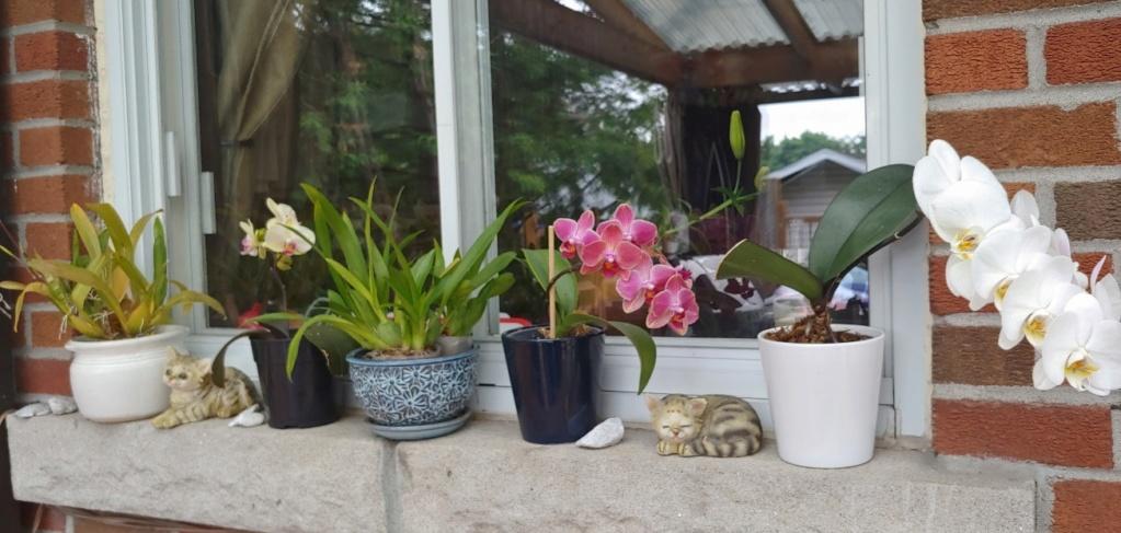 Orchidées + succulentes + autres. Chez Ola, saison 2.  - Page 5 20200640
