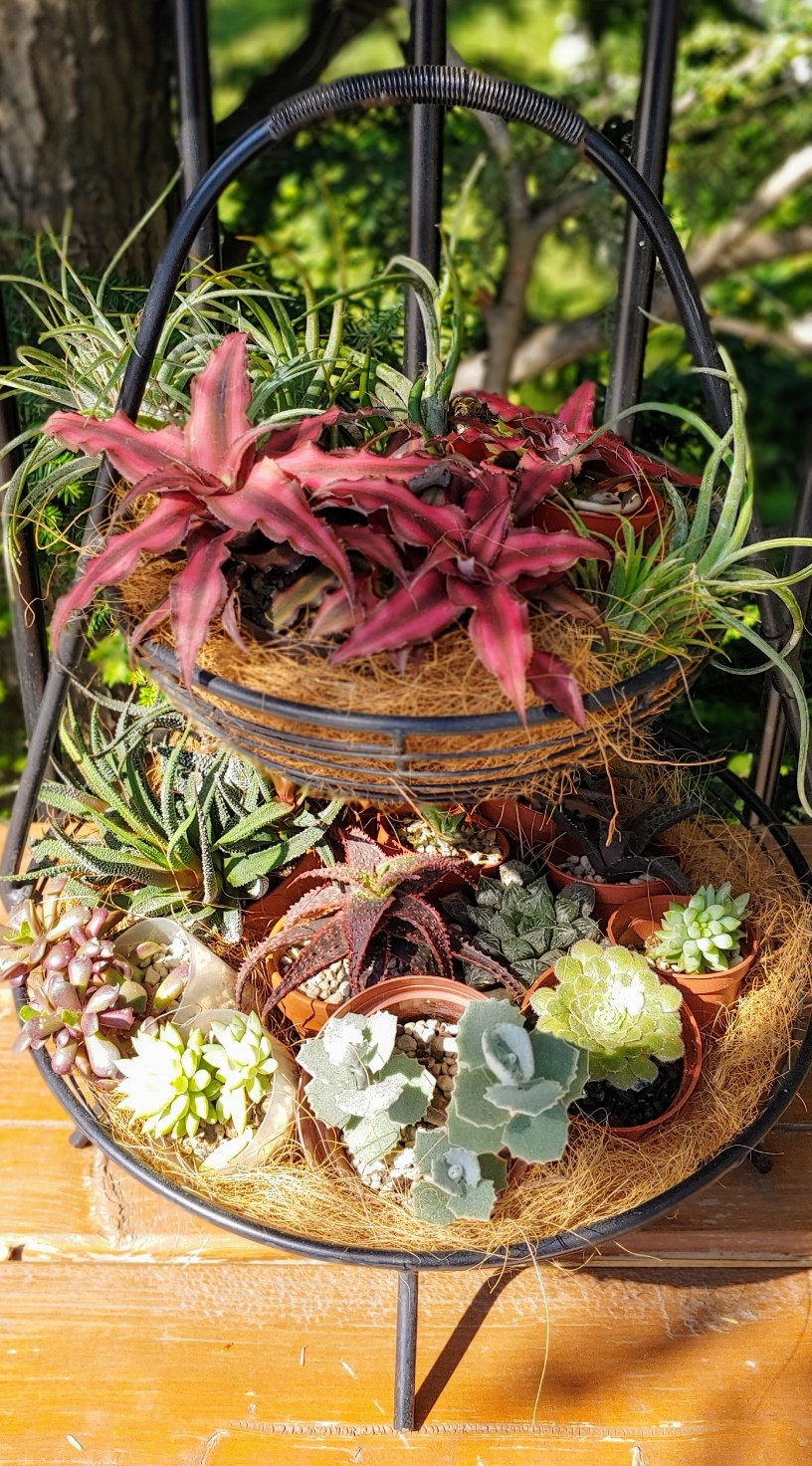 Orchidées + succulentes + autres. Chez Ola, saison 2.  - Page 5 20200641
