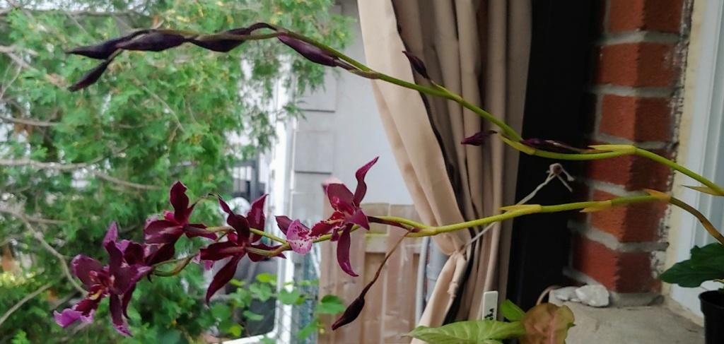Orchidées + succulentes + autres. Chez Ola, saison 2.  - Page 6 20200911
