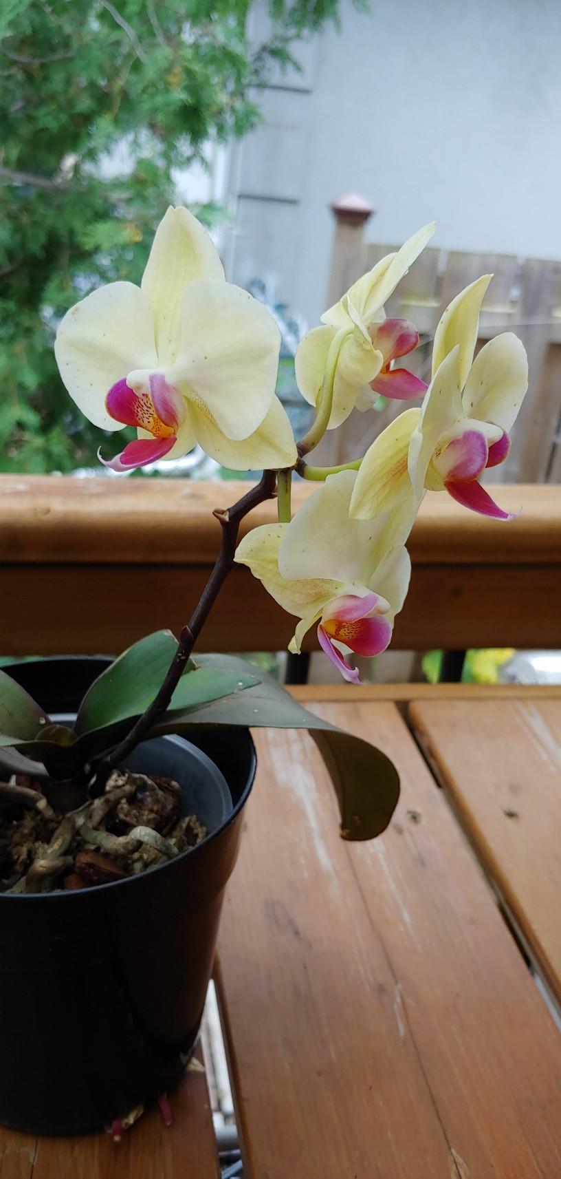 Orchidées + succulentes + autres. Chez Ola, saison 2.  - Page 6 20200920