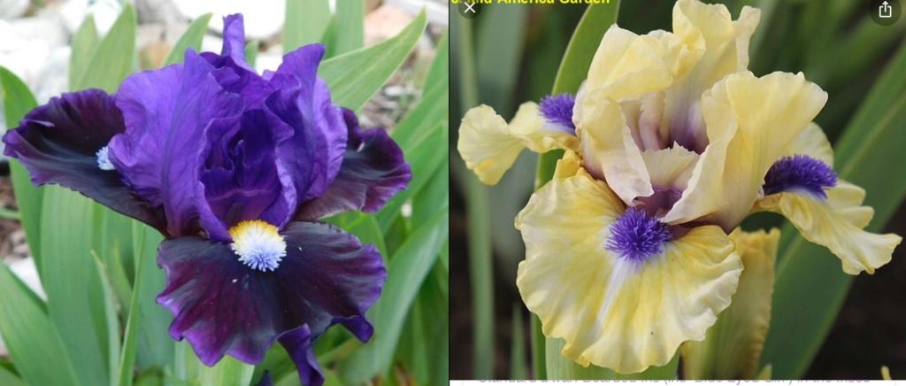 Iris Obsession 2021 Fbdced10
