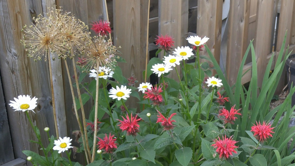 Battle. Monarde Cambridge Scarlet  VS Leucanthemum Becky  Image34