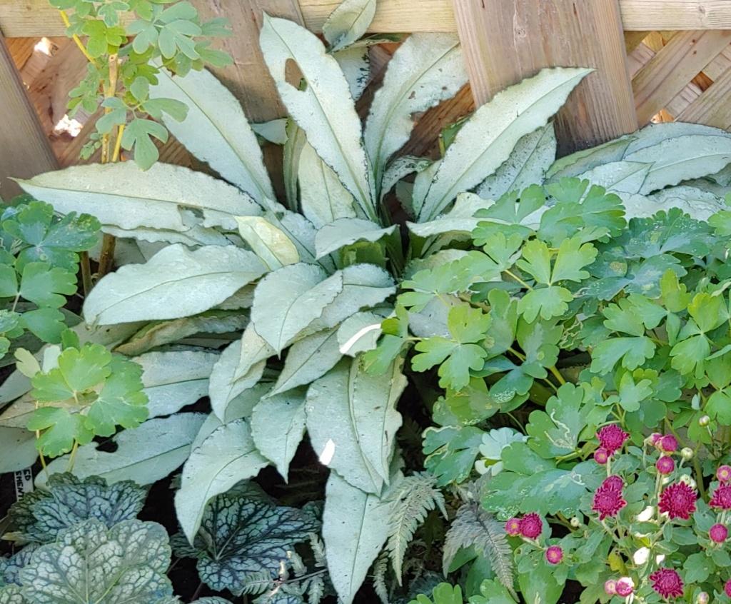 Plantes d'ombre - magazine - Page 10 Photop16