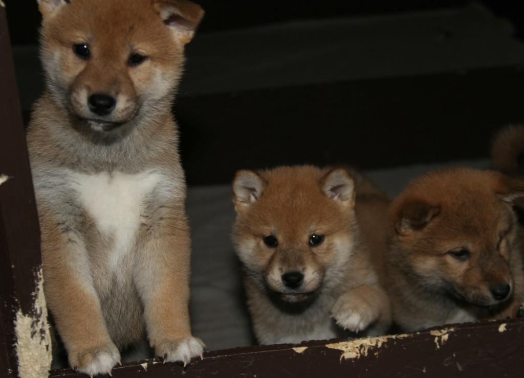 Рыжие щенки сиба питомник SamaraSun д.р.17.01.2021г. FCI-NIPPO Img_8810