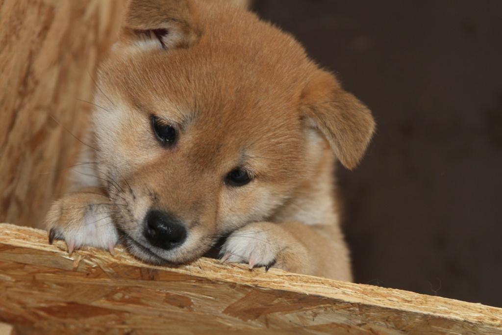 Рыжие щенки сиба питомник SamaraSun д.р.17.01.2021г. FCI-NIPPO Img_8814