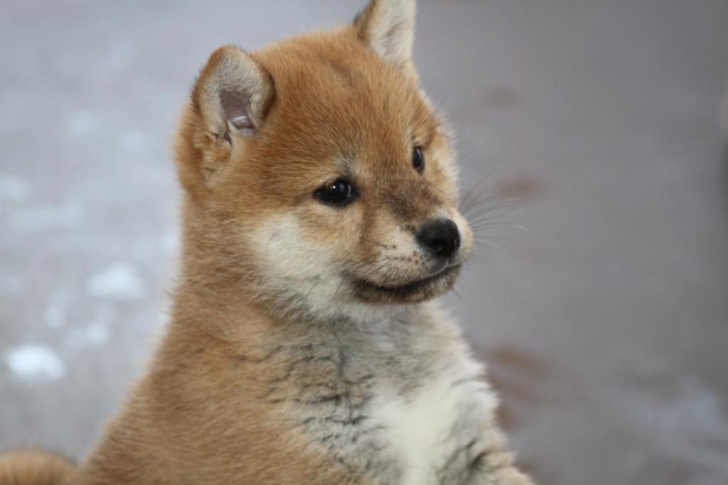 Рыжие щенки сиба питомник SamaraSun д.р.17.01.2021г. FCI-NIPPO Img_8815