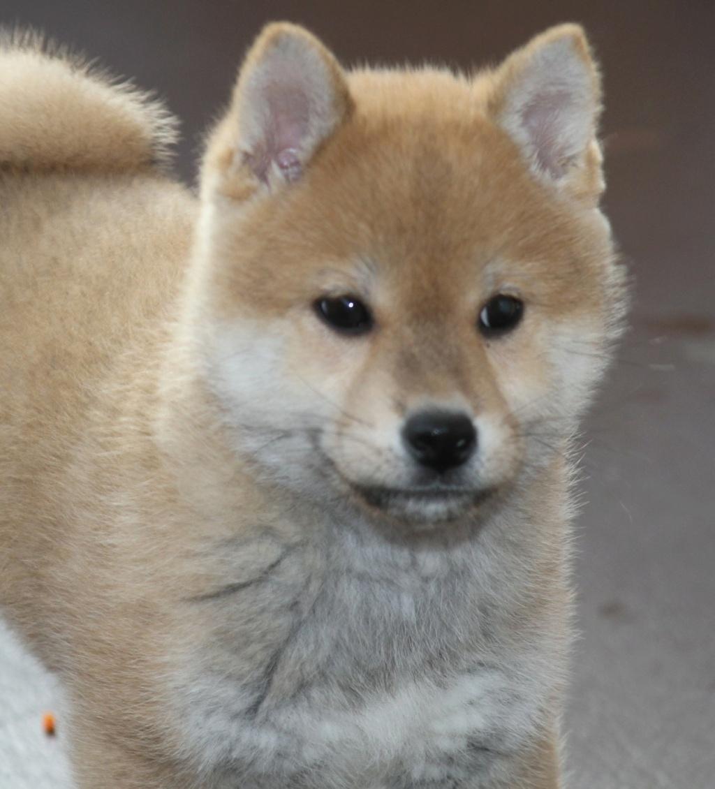 Рыжие щенки сиба питомник SamaraSun д.р.17.01.2021г. FCI-NIPPO Img_9011