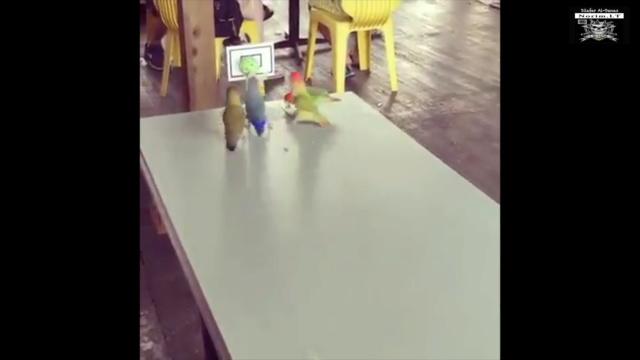Paukščių krepšinis / Невероятно! Попугаи играю в баскетбол! Screen11