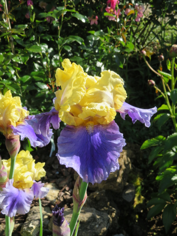 votre plus bel iris - Page 2 Iris_e10