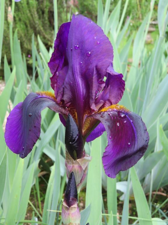 Un inconnu violet aussi Iris_v10