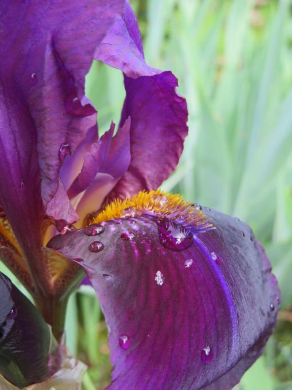 Un inconnu violet aussi Iris_v11