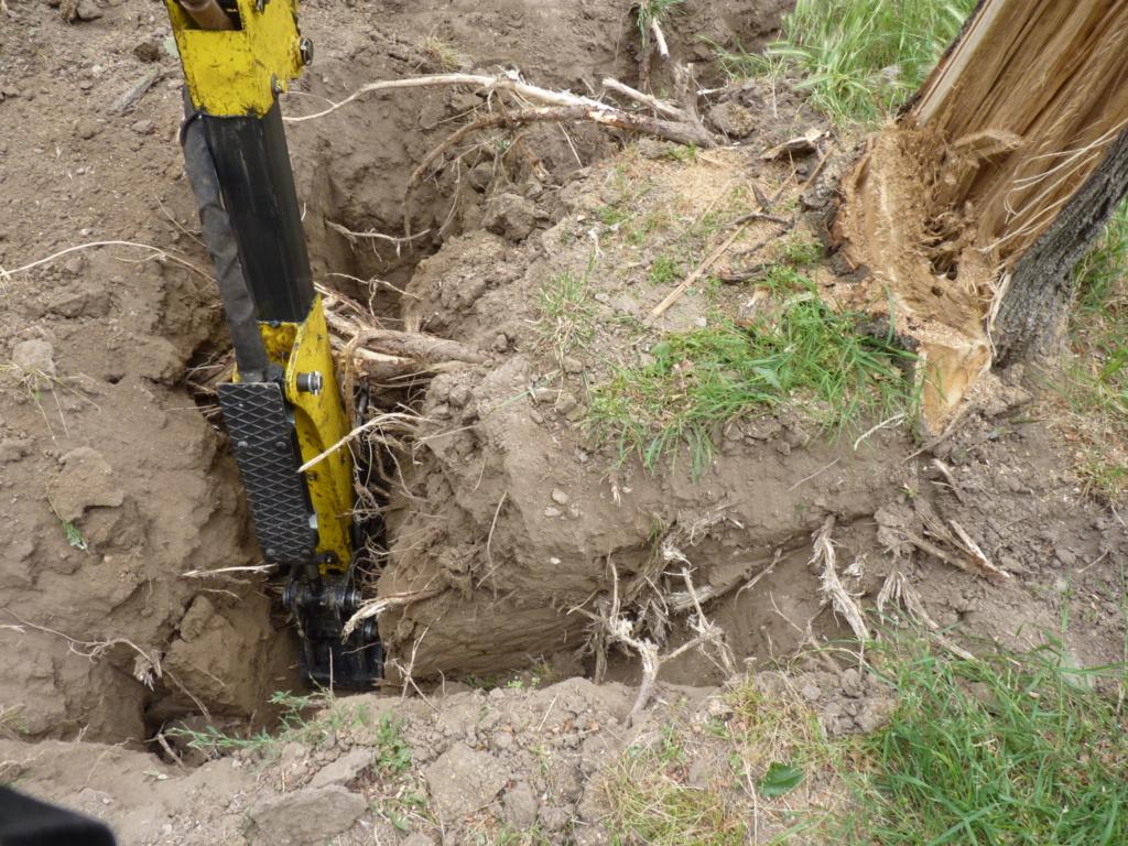 Travaux pratiques: déterrage d'un acacia Wood_310