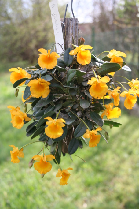 Dendrobium jenkinsii Wallich ex Lindley 1839 Img_0111