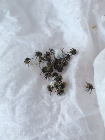 Quels sont ces insectes sortant de leurs œufs ? 260b5610