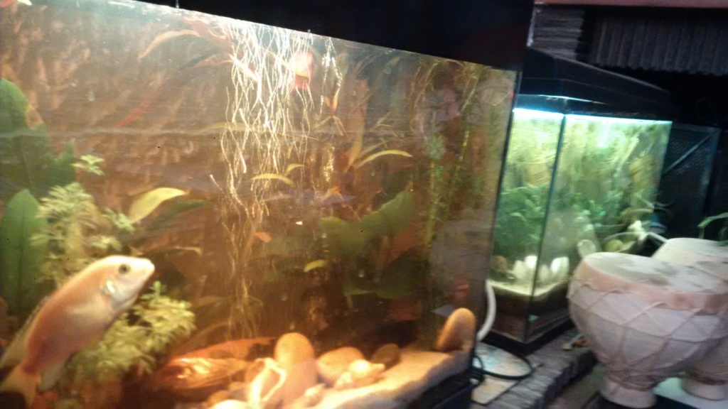 Couple de Labidochromis jaune : cohabitation Img_2013