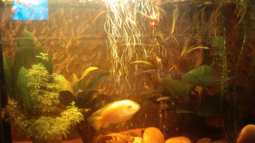 Couple de Labidochromis jaune : cohabitation Img_2014