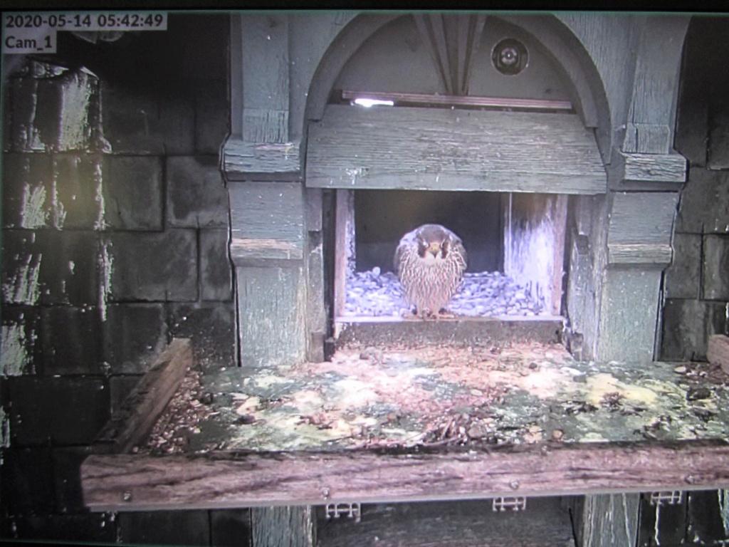 Les faucons pèlerins d'Illkirch-Graffenstaden. Flashblack en Valentine. - Pagina 17 0542_l10