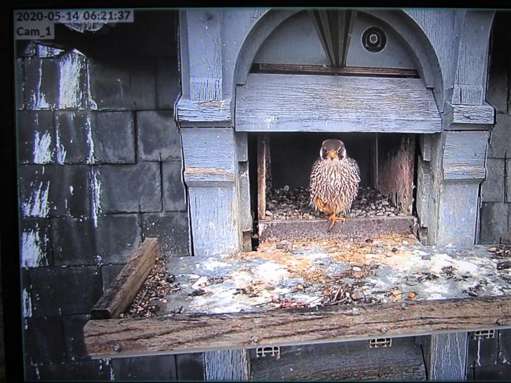 Les faucons pèlerins d'Illkirch-Graffenstaden. Flashblack en Valentine. - Pagina 17 0621_i10