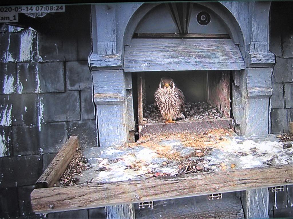 Les faucons pèlerins d'Illkirch-Graffenstaden. Flashblack en Valentine. - Pagina 17 0708_i10