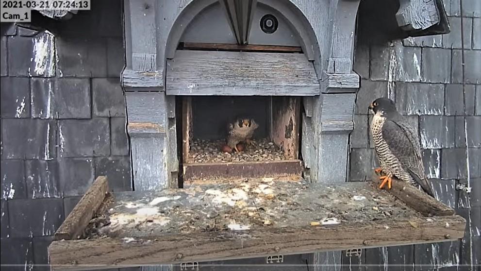 Les faucons pèlerins d'Illkirch-Graffenstaden. Lucky en Valentine. - Pagina 5 0724_c10