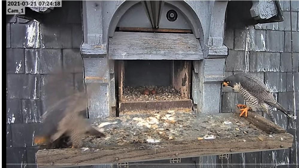 Les faucons pèlerins d'Illkirch-Graffenstaden. Lucky en Valentine. - Pagina 5 0724_c12