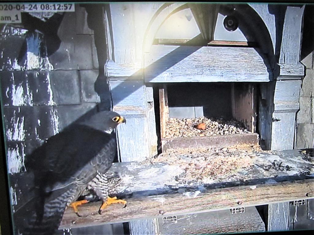 Les faucons pèlerins d'Illkirch-Graffenstaden. Flashblack en Valentine. - Pagina 16 0812_i10