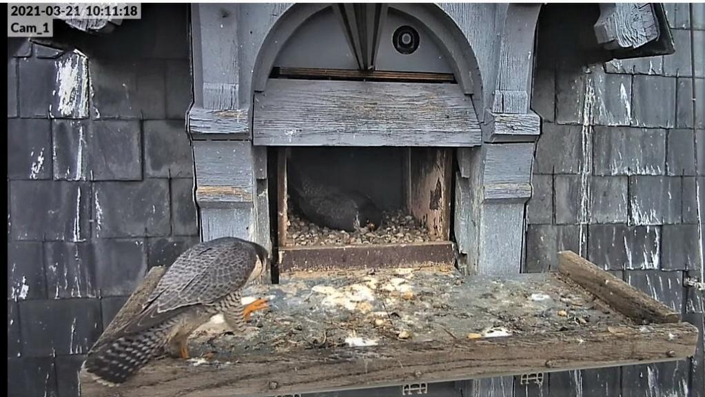 Les faucons pèlerins d'Illkirch-Graffenstaden. Lucky en Valentine. - Pagina 6 1011_c10
