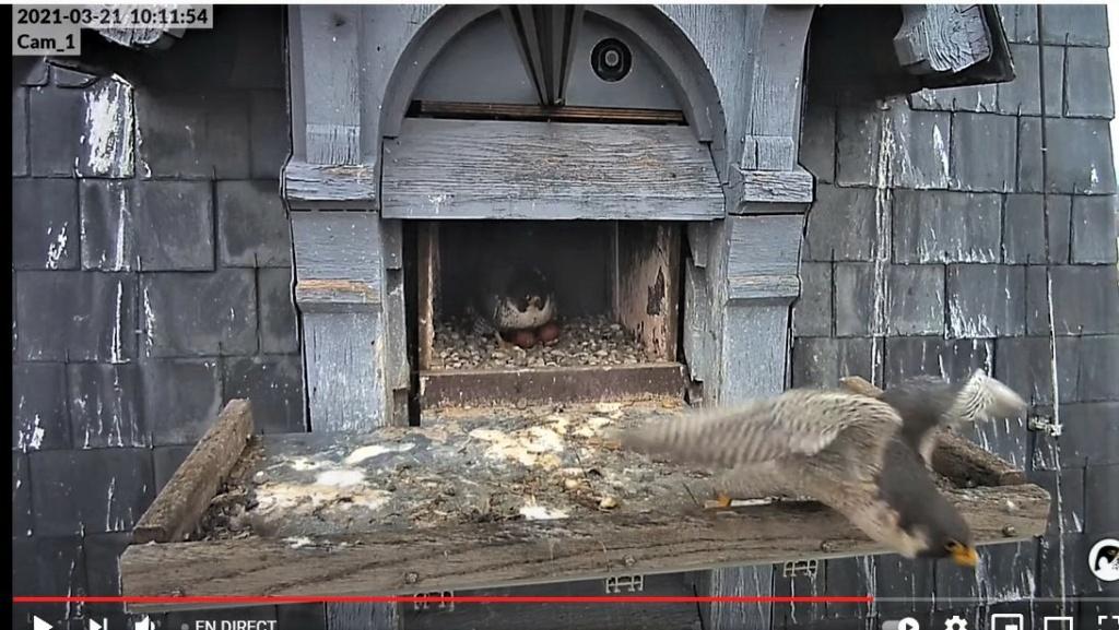 Les faucons pèlerins d'Illkirch-Graffenstaden. Lucky en Valentine. - Pagina 6 1011_c12