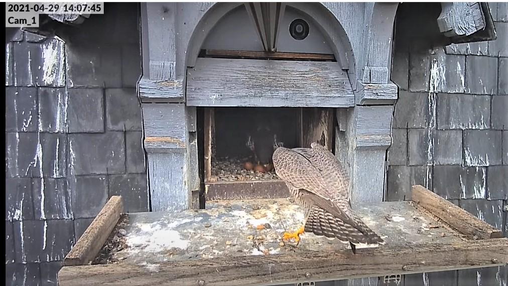 Les faucons pèlerins d'Illkirch-Graffenstaden. Lucky en Valentine. - Pagina 10 14074510
