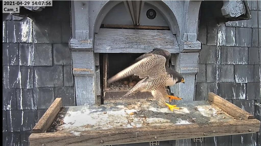Les faucons pèlerins d'Illkirch-Graffenstaden. Lucky en Valentine. - Pagina 10 14075610