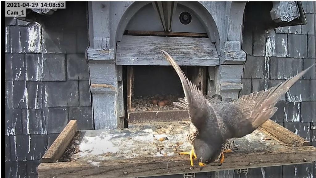 Les faucons pèlerins d'Illkirch-Graffenstaden. Lucky en Valentine. - Pagina 10 14085310