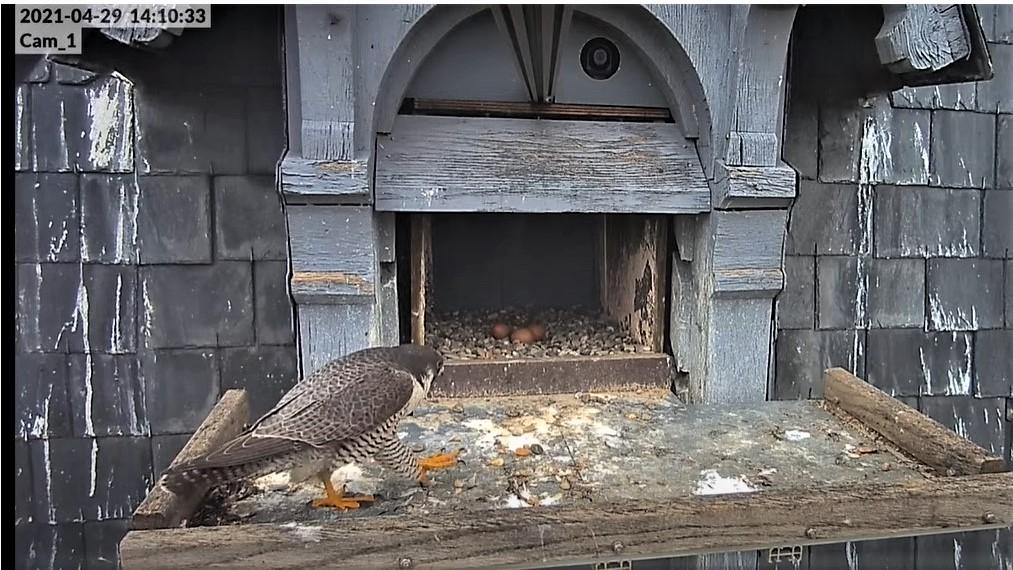 Les faucons pèlerins d'Illkirch-Graffenstaden. Lucky en Valentine. - Pagina 10 14103310
