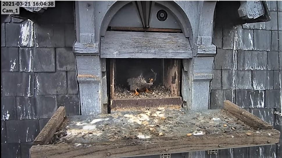 Les faucons pèlerins d'Illkirch-Graffenstaden. Lucky en Valentine. - Pagina 6 1604_c10