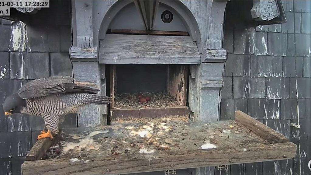 Les faucons pèlerins d'Illkirch-Graffenstaden. Lucky en Valentine. - Pagina 4 1729_v10