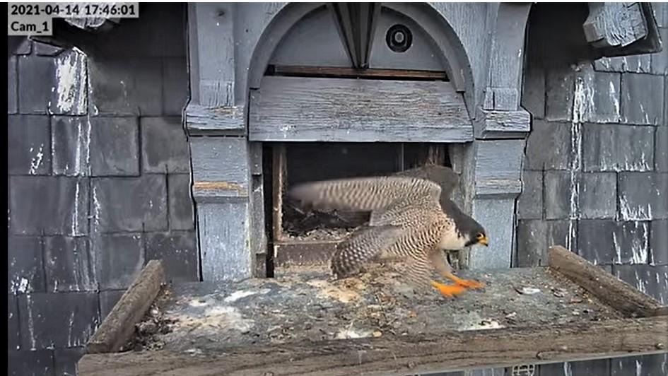 Les faucons pèlerins d'Illkirch-Graffenstaden. Lucky en Valentine. - Pagina 8 17460110