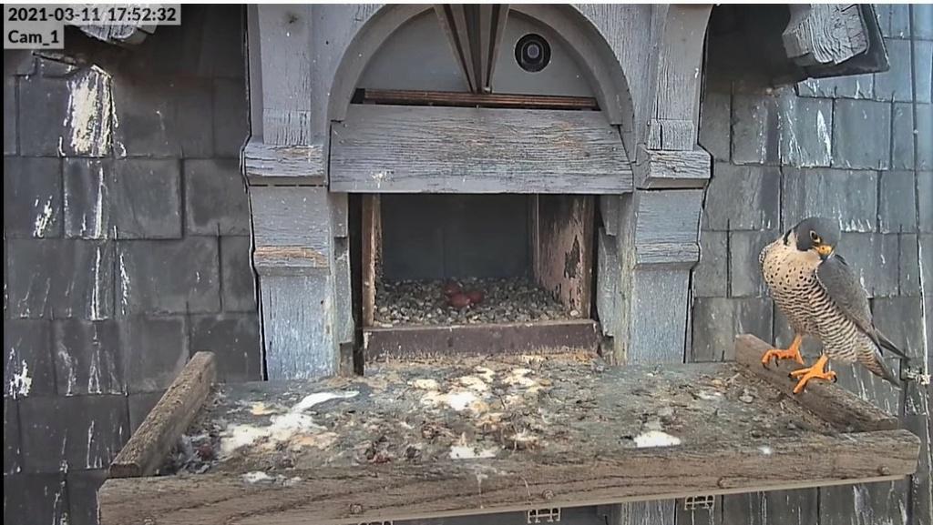Les faucons pèlerins d'Illkirch-Graffenstaden. Lucky en Valentine. - Pagina 4 1752_c10