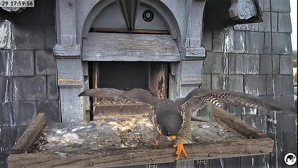 Les faucons pèlerins d'Illkirch-Graffenstaden. Lucky en Valentine. - Pagina 10 17595610