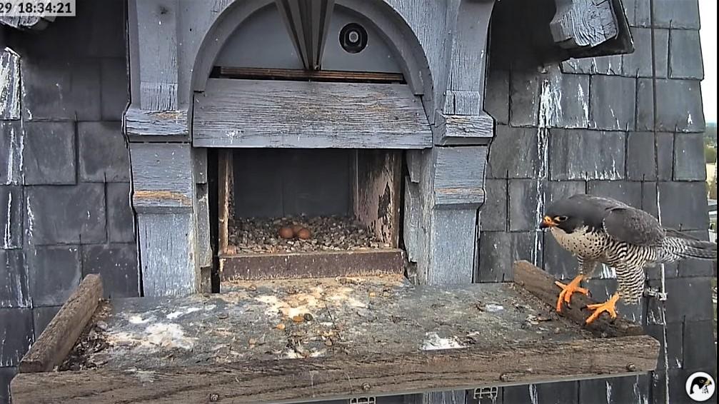 Les faucons pèlerins d'Illkirch-Graffenstaden. Lucky en Valentine. - Pagina 10 18342110