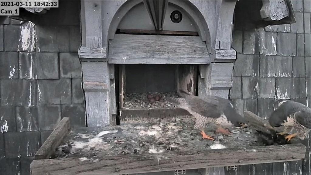 Les faucons pèlerins d'Illkirch-Graffenstaden. Lucky en Valentine. - Pagina 5 1842b_10