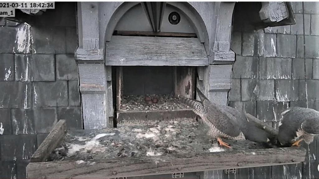 Les faucons pèlerins d'Illkirch-Graffenstaden. Lucky en Valentine. - Pagina 5 1842c_11