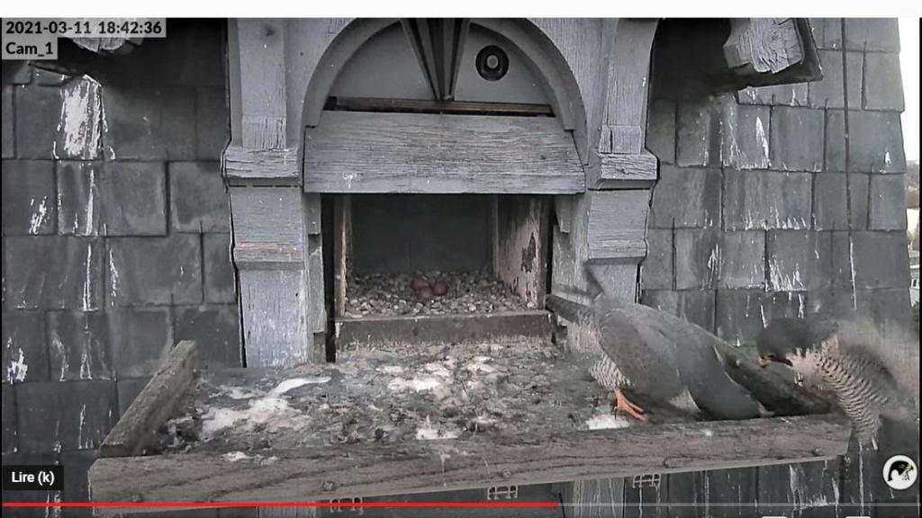Les faucons pèlerins d'Illkirch-Graffenstaden. Lucky en Valentine. - Pagina 5 1842d_10