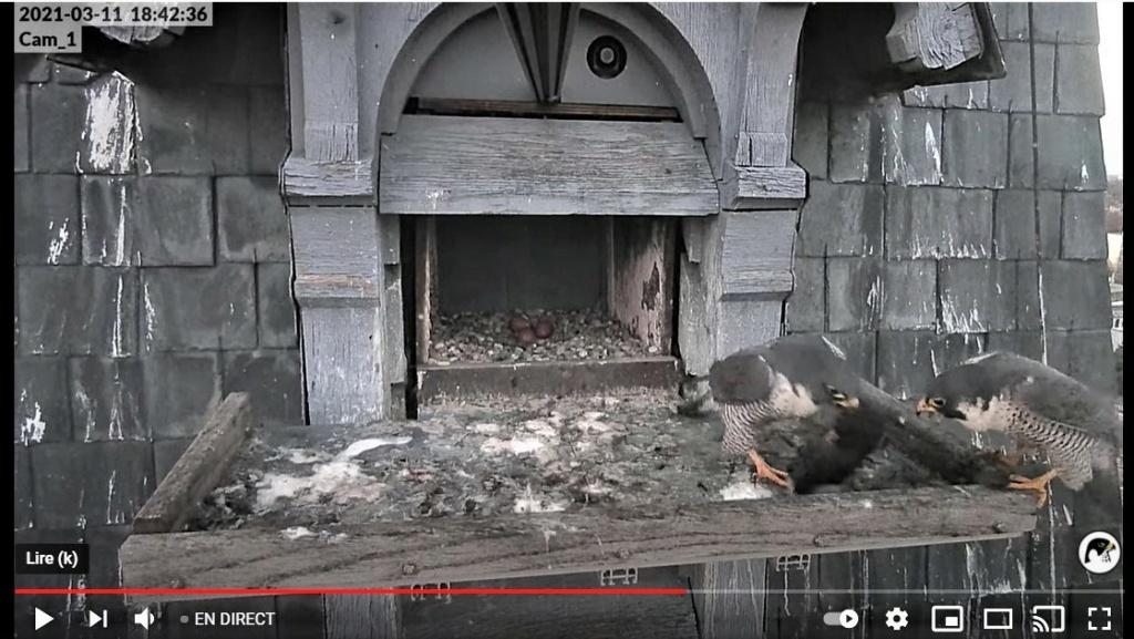 Les faucons pèlerins d'Illkirch-Graffenstaden. Lucky en Valentine. - Pagina 5 1842e_10
